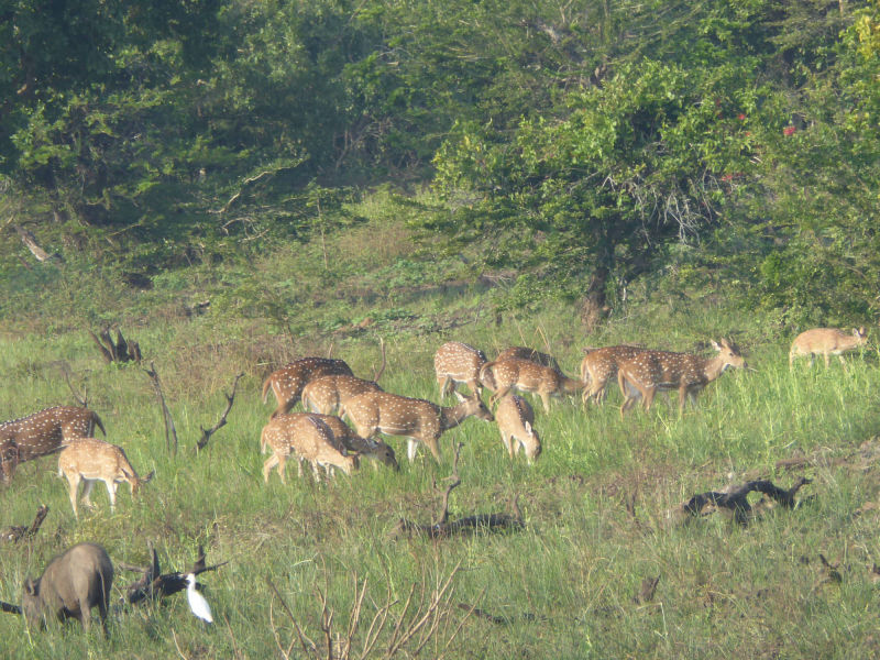 Rehe, Yala Nationalpark