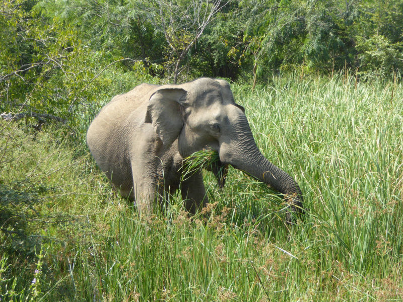 Wilder Elefant, Yala Nationalpark
